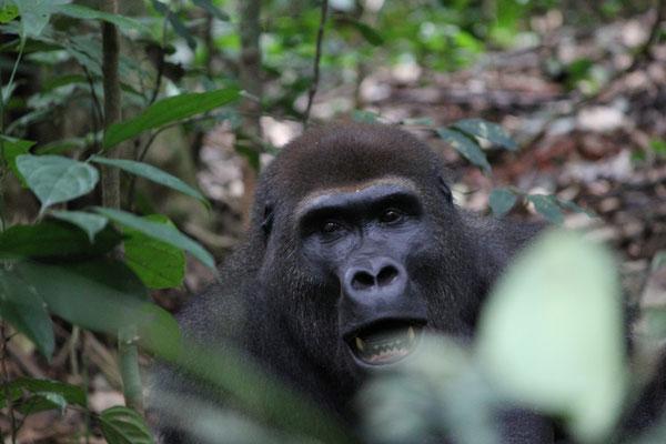 Zentralafrika und Kongo; Dzanga Sangha NP