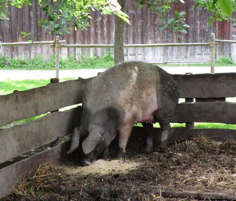 Schwein im Museum Wolfsegg