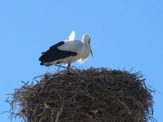 unser erster Storch in Portugal