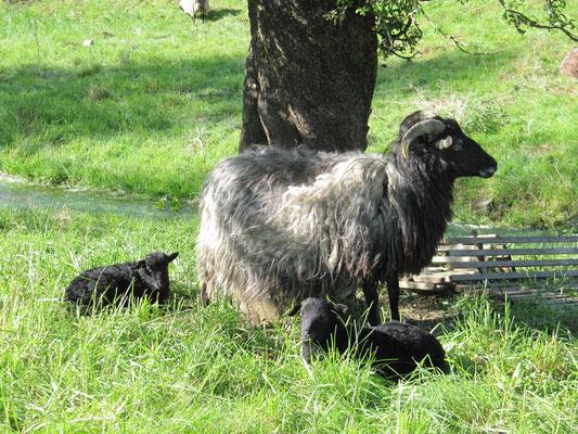 Mutterschaf mit ihren Zwillingen
