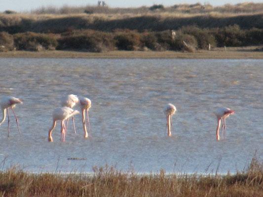 Flamingos - leider etwas unscharf