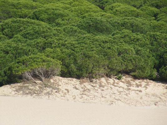 Die Sanddüne hat die Pinien erreicht - sie werden absterben