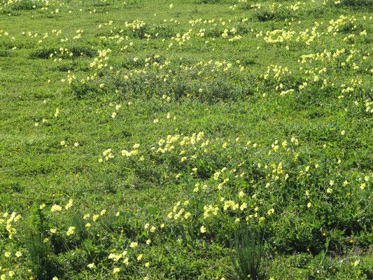 und auch diese Wiese blüht - in gelb