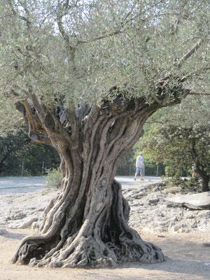 1000jähriger Olivenbaum auf dem Gelände der Pont du Gard