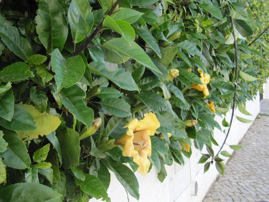 Trompetenblume als Heckenbepflanzung