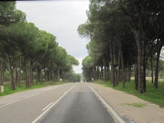unterwegs - immer wieder Pinienwälder