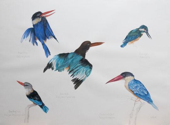 Fünf Eisvögel. Gouache auf Papier.