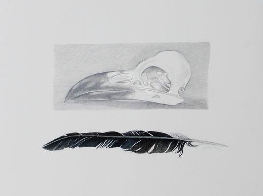 Krähenschädel und -Feder. Gouache/Bleistift.