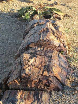 L'arbre pétrifié