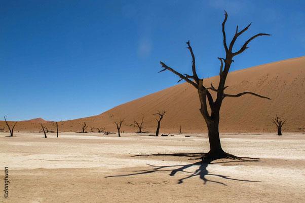 Sossusvlei -  les Acacia erioloba sont tellement secs qu'ils ne pourrrisent pas ...