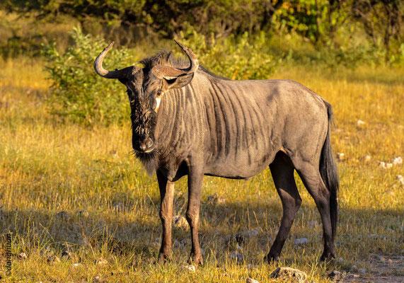 Gnou (parc national d'Estosha - Namibie)