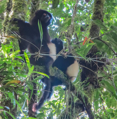 Lémur vari noir et blanc - Espèce endémique menacée par le braconnage, mais surtout par le recul de son habitat forestier (parc Ranomafana, Madagascar). Prise de vue après 30' de poursuite dans la forêt primaire et une bonne chute
