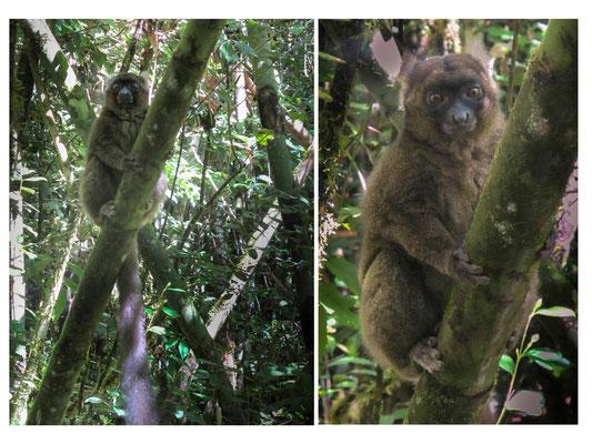 Hapalémur doré, espèce endémique en danger critique d'extinction (parc Ranomafana, Madagascar) dont il ne reste plus que 250 individus
