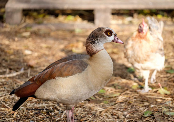 Canard d'Egypte