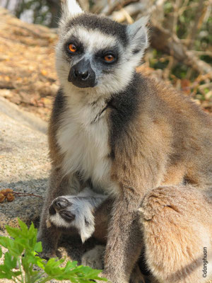 Lémur catta ou Maki (site d'Anja, Madagascar)