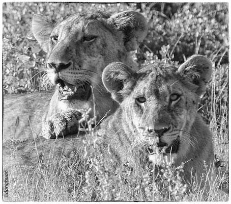 Deux lionceaux après le repas