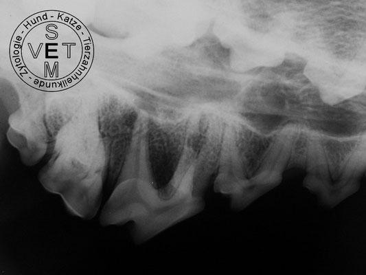 Zahnwurzeldefekt Oberkiefer P4 Hund
