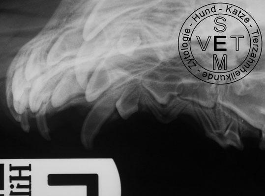 Röntgenbild Oberkiefer linksseitig seitliche Sicht