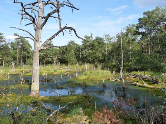 Abgestorbener Baum im Pietzmoor, Lüneburger Heide, Deutschland