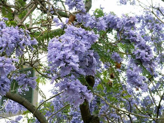 Palisanderholz-Baum - Madeira