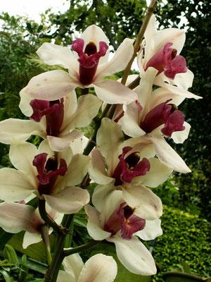 "Orchidee ""Cymbidium"" - Madeira"