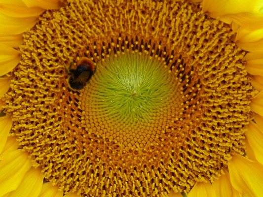 Sonnenblume mit Hummel, Lüneburger Heide, Deutschland