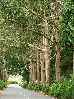 Der Eukaliptuswald - Madeira