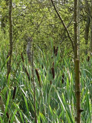 Schilfkolben im Pietzmoor, Lüneburger Heide, Deutschland