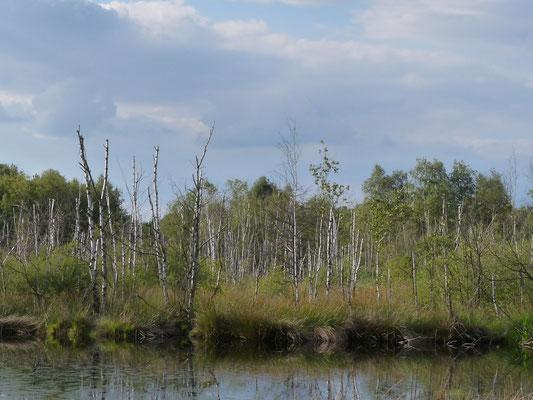 Das Ufer am Moorsee, Pietzmoor, Lüneburger Heide, Deutschland