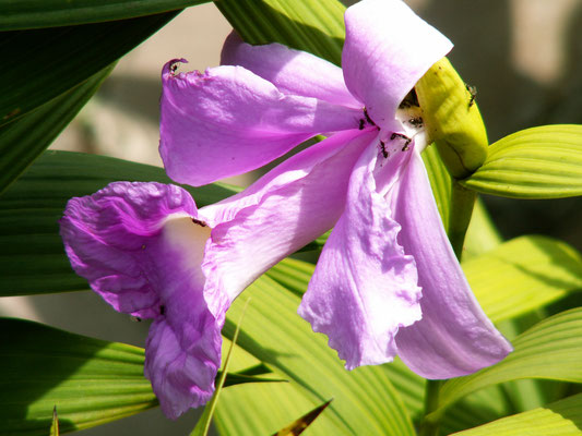 "Orchidee ""Cattleya"" - Madeira"