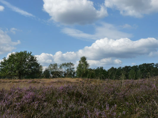 Heidelandschaft  in der Lüneburger Heide, Deutschland