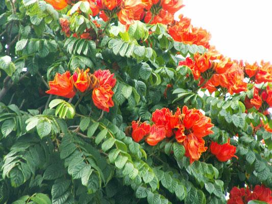 "Der ""afrikanische Tulpenbaum"" - Madeira"