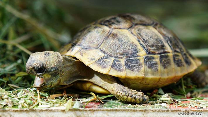 Junge Schildkröte mit offenem Mund