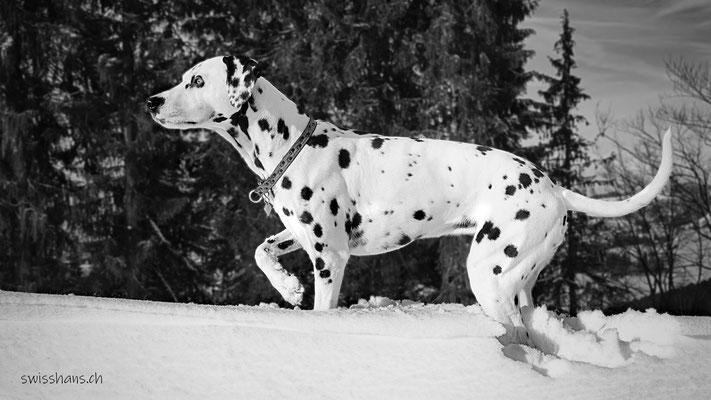 Dalmatiner-Dame spielt im Neuschnee