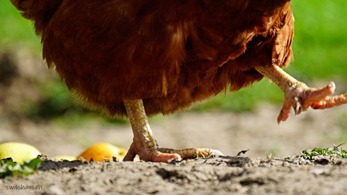 Füsse eines Huhns marschieren über den Hof