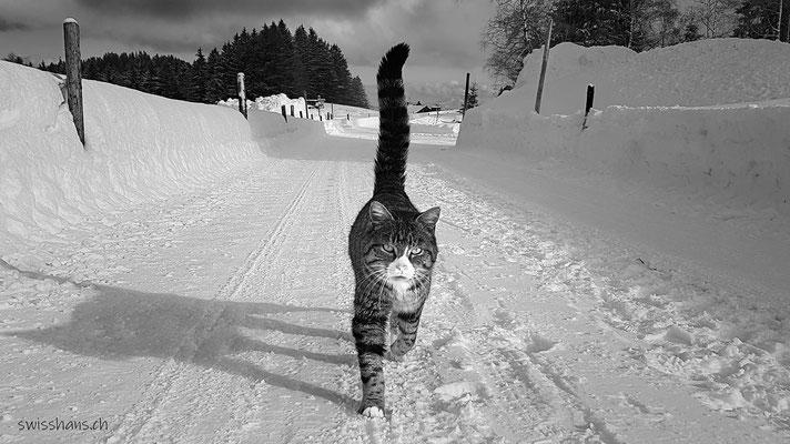 Herzliche Begrüssung durch eine Katze auf dem verschneiten Weg beim Gäbrisseeli