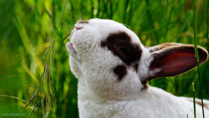 Kaninchen frisst Gras in der Wiese