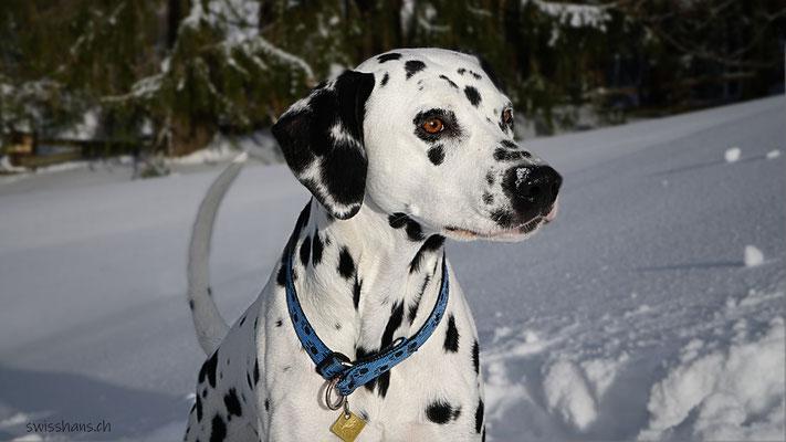 Dalmatiner-Dame posiert im Neuschnee