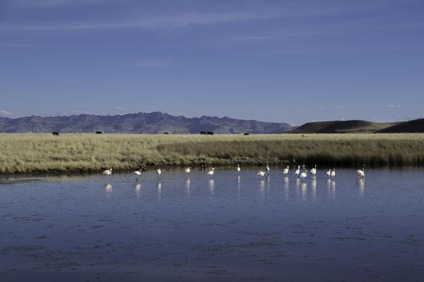 Flamingos auf 3950 m.ü.M.