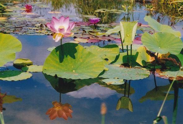 Lotus  ©P. Lamour