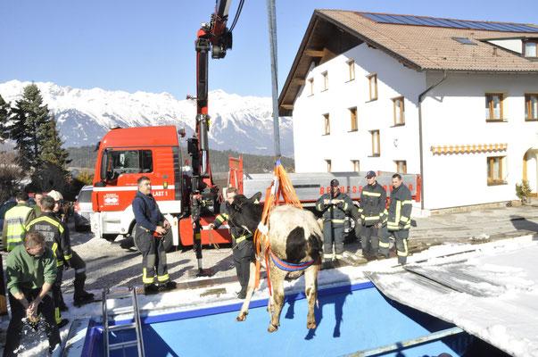 Bergung einer Kuh aus einem Pool