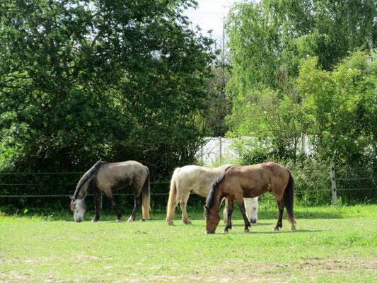 Paddocks pour chevaux heureux à l'Ecurie les Rouillons, au Nord de l'Yonne