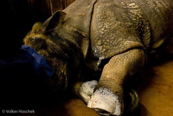 betäubter Nashornbulle nach Hufbehandlung