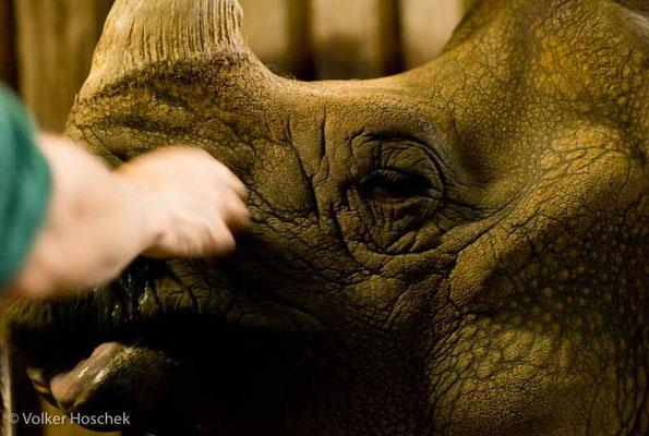 Tierarzt Dr. Wolfram Rietschek beruhigt eine kranke Nashornkuh