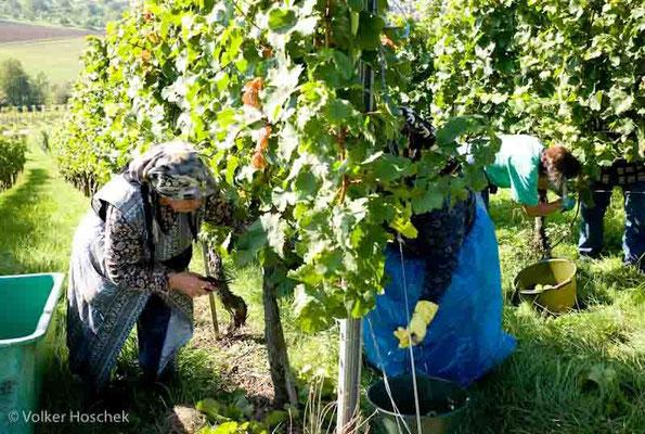 Weingut Graf Adelmann - Weinlese