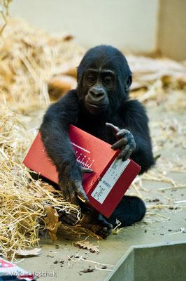 Gorillajunges bei der Bescherung im Menschenaffenhaus
