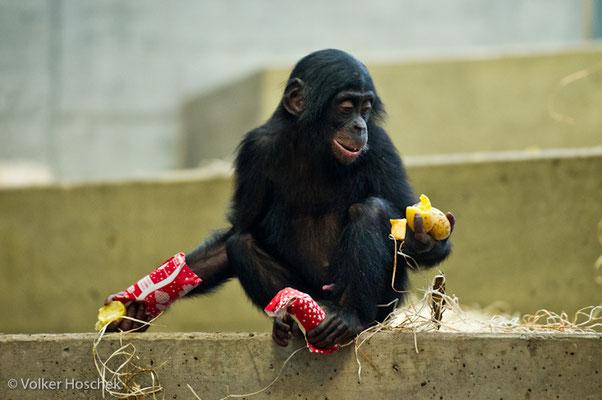 Bonobojunges bei der Bescherung im Menschenaffenhaus