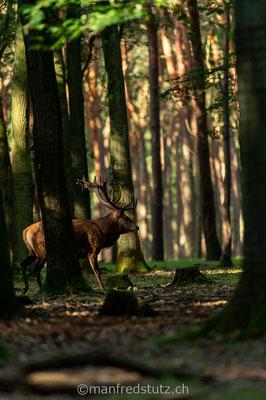 Rothirsch, Wildpark Gangelt, Deutschland