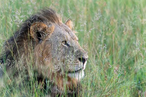 Afrikanischer Löwe, Panthera leo, Männchen, 20150306-_MSF1779