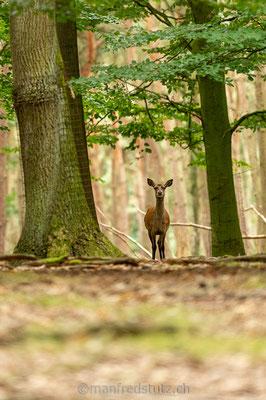 Junger Rothirsch, Wildpark Gangelt, Deutschland